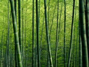 Bamboo – An Auspicious Plant For Your Home